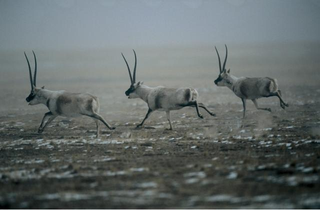 从2万只到20万只,藏羚羊已不是濒危动物,为啥国家要重点保护它