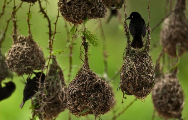 世界最大鸟巢,重达1吨却无人掏鸟蛋?上面有一动物无人敢碰