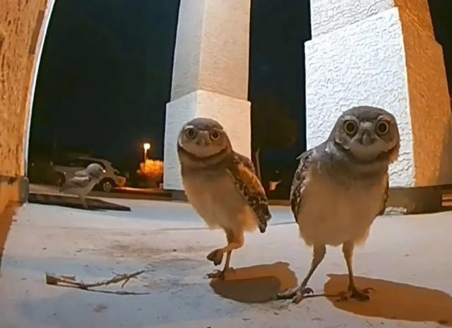 网友半夜发现门前有异常,通过监控一看,有3只猫头鹰在门口聚会
