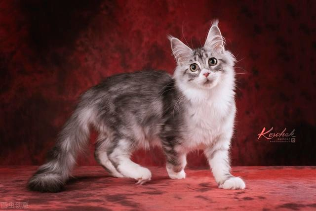 """The seven """"scented cats"""" in the cat world, with their own fragrance, can not stand the smell of the pet can rest assured to keep"""
