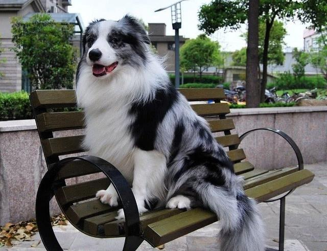 Also a sheepdog, why are there more shepherds than happy?