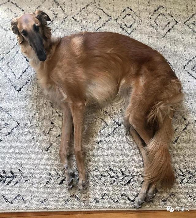 班里来了一只苏俄牧羊犬,二哈看了一脸懵逼:我们中间有叛徒